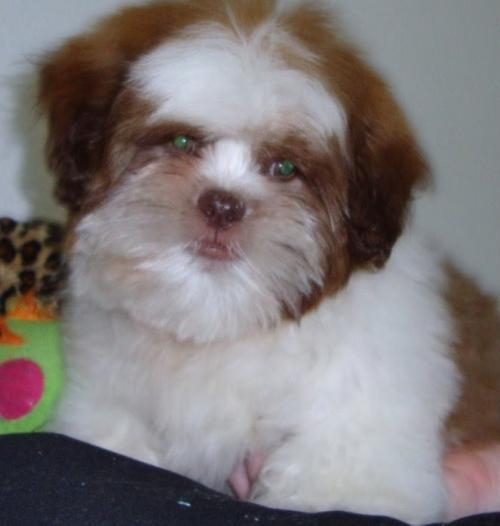 Fotos de Shih-tzu branco e chocolate de menor porte 11-2279-7645 1