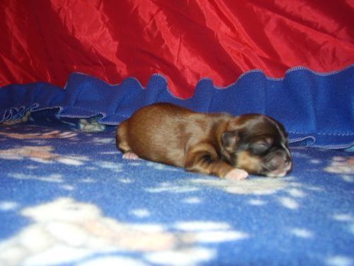 Temos disponível filhotes de lhasa apso machos e fêmeas em 3x no cheque com pedigree cbkc