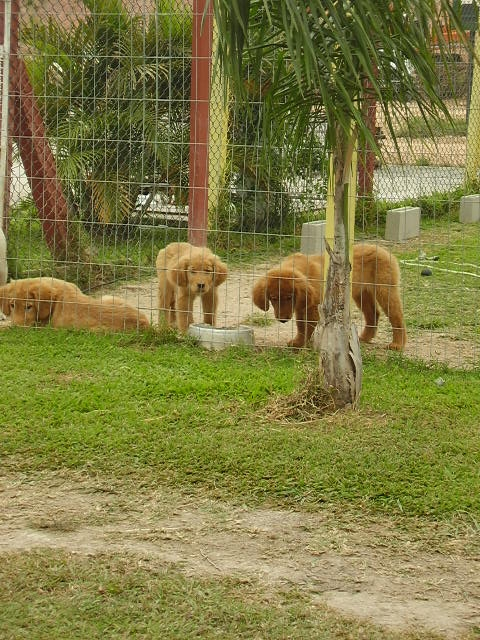 Rael centro de adestramento vende lindos filhotes de golden retriever