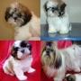 Chow Chow & Shih Tzu -Lindos filhotes disponiveis, beleza e saúde garantidas!!