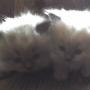 Vendo gatos Himalaios Blue point  -Nascidos em 30 de agosto de 2008