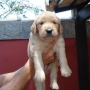 FILHOTES DE GOLDEN RETRIEVER C/ PEDIGREE