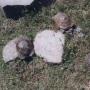 Bem domesticado linda tartaruga para venda.