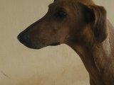 Vendo foxhound americano e nacional veadeiro