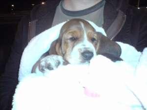 Basset hound -filhotes