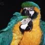Saudável papagaios à venda.