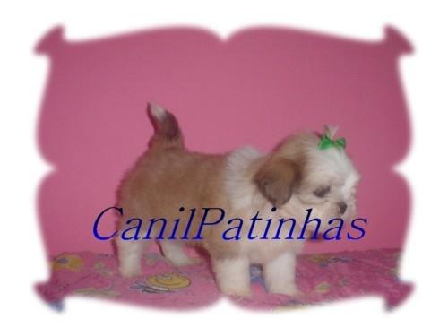 Fotos de Shih-tzu & lhasa-apso super pequenos mando foto dos filhotes e-mail 4