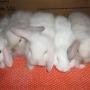 Vende-se lindos filhotes de coelho fuzzy lop