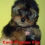 Vendo Yorkshire Terrier