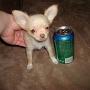 linda chihuahua cachorros para uma nova casa.