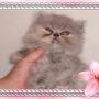 Gatinhos persas e himalaios