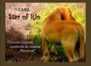 CANIL STAR OF RIO- filhote de labrador amarelo