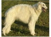 Os filhotes de cachorro da raça borzoi espetacular