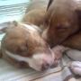vende-se lindos filhotes de pit bull terrier
