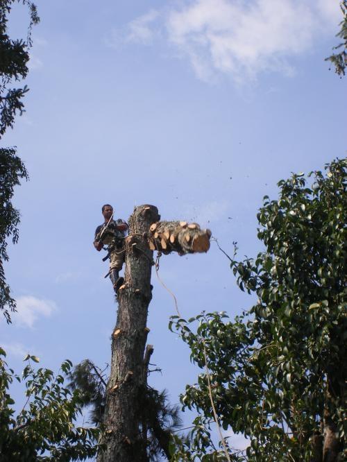 Fotos de Corte de árvore curitiba 2