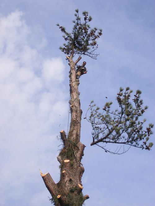 Fotos de Corte de árvore curitiba 1