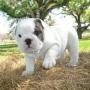 Bulldog Inglês para adopção