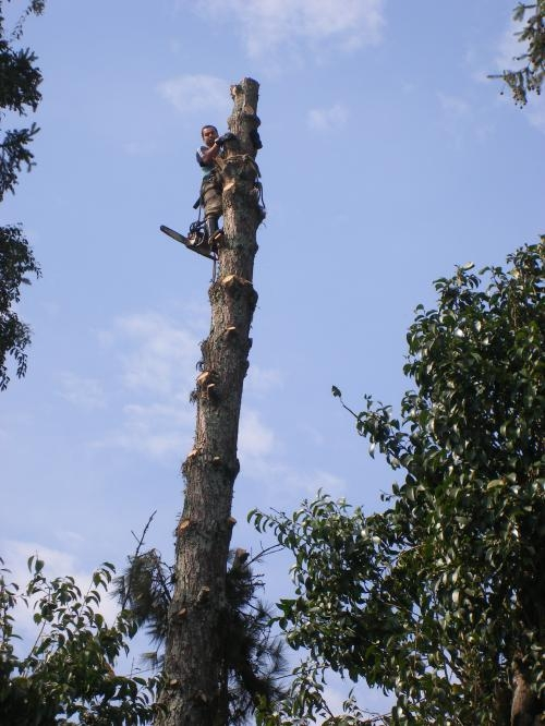 Corte de árvore curitiba / araucária