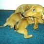 Filhotes de teckel  fêmeas anão douradas  R$450,00  facilito