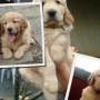 FILHOTES DE GOLDEN RETRIEVER COM PEDIGREE CBKC