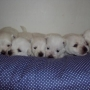venda de filhotes west terrier