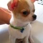Chihuahua cachorros para venda.