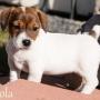 Jack Russell terrier cachorros para venda.
