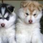 X Mas adorável husky siberiano filhotes para venda aqui