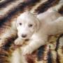 filhotes de schnauzer brancos apartir de 400 reais