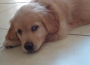 FILHOTE DE GOLDEN RETRIEVER FEMEA COM PEDIGREE !!!