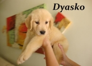 Golden retriever filhotes a venda uberlândia dyasko