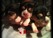 Beagle filhotes a venda