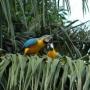 par de papagaios falar grande arara azul e ouro