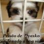 shihtzu filhotes , pug,golden retriever canil Dyasko