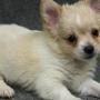 Adorável chihuahua cachorros para venda