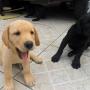 Labrador Filhotes