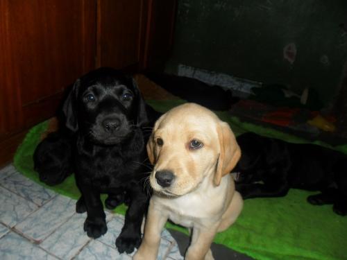 Fotos de Labrador filhotes 3