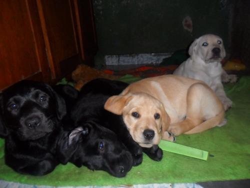 Fotos de Labrador filhotes 2