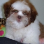 shih-tzu branco e chocolate de menor porte 11-2279-7645