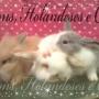 Mini Coelhos - Lions Holandes & hermelin -FRETE GRATIS!!!