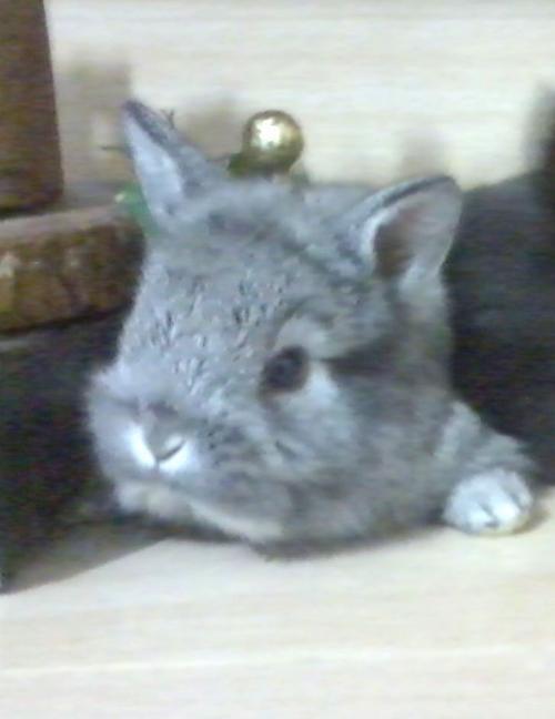 Mini coelhos - coelhos lions & cia