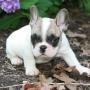 Bela Cachorros Buldogue Francês