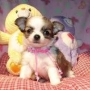 Maravilhosos Filhotes de Cachorro Chihuahua