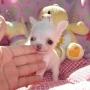 Saudável Chihuahua Cachorros