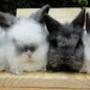 mini coelhos mini lops e holandeses disponiveis