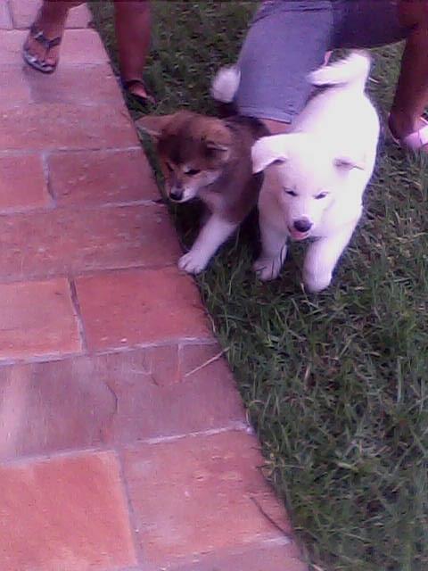 Vendo cães filhotes de dogue alemão com pedigree opcional