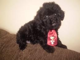 Vendo lindo filhote de poodle preto toi com tres mes super esperto pequeno e pedigree opcional