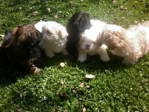 Lindos filhotes lhasa apso, machos e fêmeas