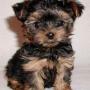 Filhotes de Yorkshire / Lhasa / Shih Tzu / Poodle