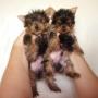 filhotes de yorkshire micro 98759515